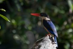 Hvidhalset Smyrnaisfugl / Black-capped Kingfisher