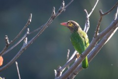 Brunhovedet skægfugl  Brown-headed Barbet