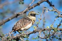 Perleskægfugl /  D´Arnaud´s Barbet