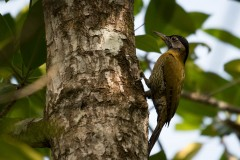 Bambusgrønspætte / Laced Woodpecker ♀