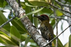 Bambusgrønspætte / Laced Woodpecker ♂