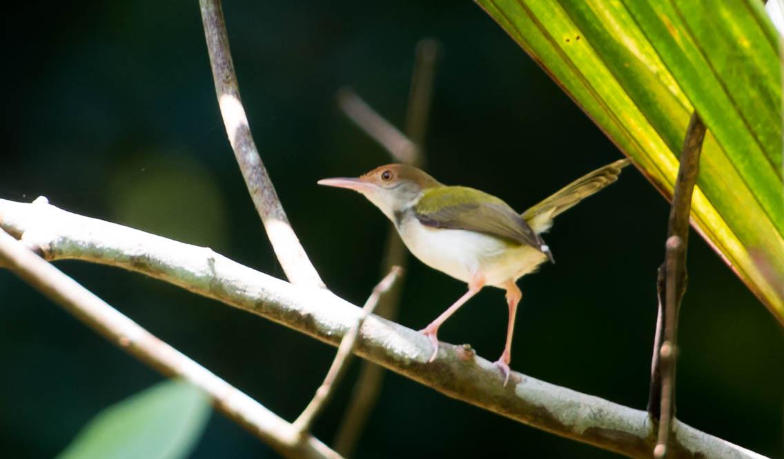 Indisk Skrædderfugl / Common Tailorbird