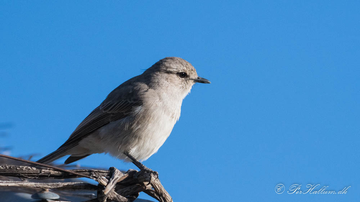 Askegrå Fluesnapper / African Grey Flycatcher