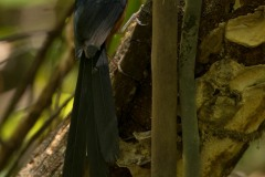 Sharma drossel / White-rumped shama