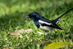 Dayal / Magpie-robin