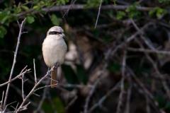 Sydlig Stor Tornskade / Southern Grey Shrike