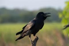 Huskrage / House Crow