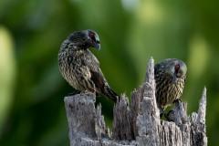 Træstær / Asian Glossy Starling