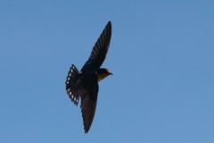 Stillehavssvale /  Pacific swallow