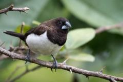 Spidshalet Bronzefinke / White-rumped munia