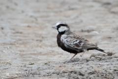 Gråisset Lærke / Ashy-crowned sparrow lark