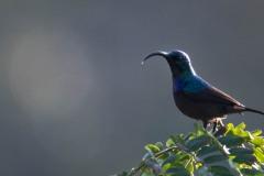 Langnæbbet Purpursolfugl, Loten´s Sunbird ♂