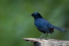 Hvidvinget Sortstjert / Indian robin ♂