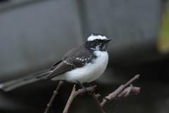 Hvidbrynet Viftehale /  White-browed Fantail