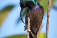 Langnæbbet Purpursolfugl / Loten´s Sunbird ♂