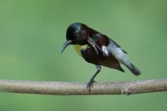 Indisk Solfugl / Purple-rumped Sunbird ♂