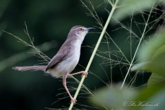 Askeprinia / Ashy Prinia