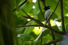 Ceylon Paradise Flycatcher / Asiatisk Paradismonark
