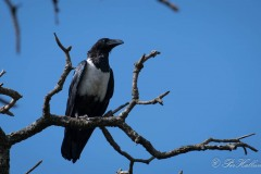 Broget Krage / Pied Crow