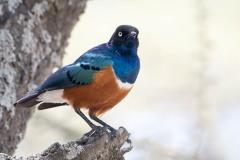 Trefarvet Glansstær / Superb Starling