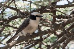 vidkronet Tornskade / White-crowned Shrike