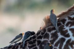Gulnæbbet Oksehakker / Yellow-billed oxpecker