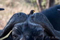 Gulnæbbet Oksehakker / Yellow-billed oxpecker