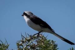Hvidkronet Tornskade / White-crowned Shrike