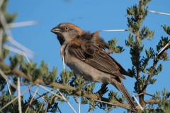 Rustspurv / Rufous Sparrow