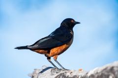 Masaiglansstær /  Hildebrandt's starling