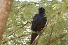 Blågrøn Glansstær /  Rüppell's starling