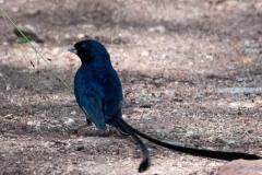 Langhalet Atlasfinke / Steel-Blue Whydah