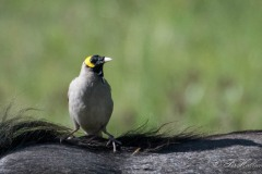 Lappestær / Wattled starling