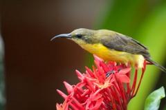 Olivenrygget Solfugl / Olive-backed Sunbird