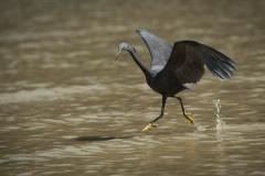 Revhejre /  Pacific Reef Heron