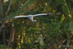 Asiatisk Gabenæb /  Asian Openbill