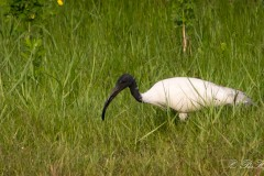 Indisk Ibis / Black-headed ibis