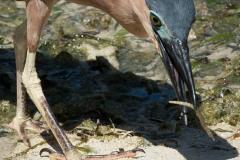 Rød Nathejre / Rufous night heron