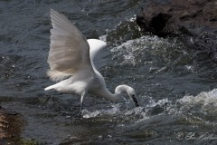 Silkehejre / Little Egret