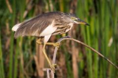 Rishejre / Indian Pond Heron