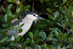 Nathejre / Black-crowned night heron