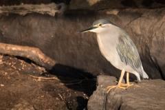 Mangrovehejre / Striated Heron