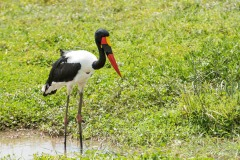 Saddelnæb / Saddle Billed Stork