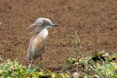 Tophejre / Squacco Heron