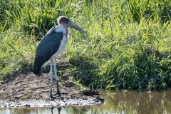 Marabustork / Marabou Stork