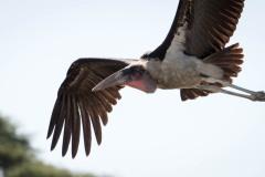 Marabou Stork / Marabustork