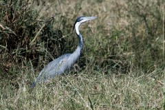 Sorthovedet Hejre / Black-Headed Heron