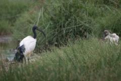 Hellig Ibis / Sacred Ibis