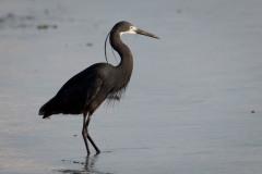 Mascarenerhejre / Dimorphic Egret