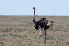 Struds / Common Ostrich